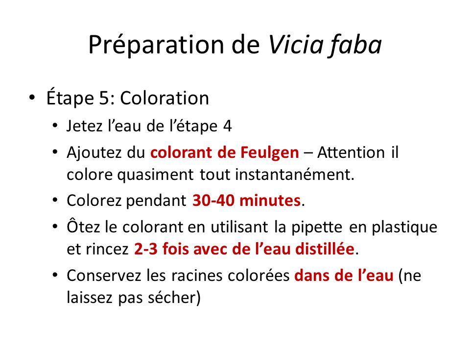 Préparation de Vicia faba