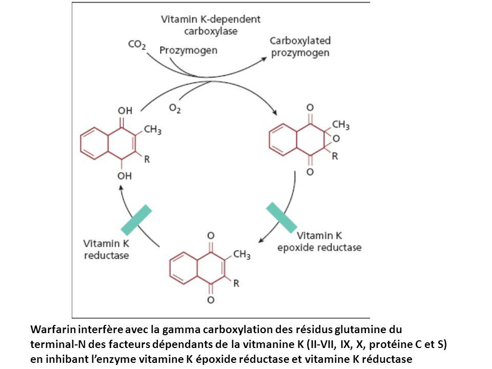Warfarin interfère avec la gamma carboxylation des résidus glutamine du terminal-N des facteurs dépendants de la vitmanine K (II-VII, IX, X, protéine C et S) en inhibant l'enzyme vitamine K époxide réductase et vitamine K réductase