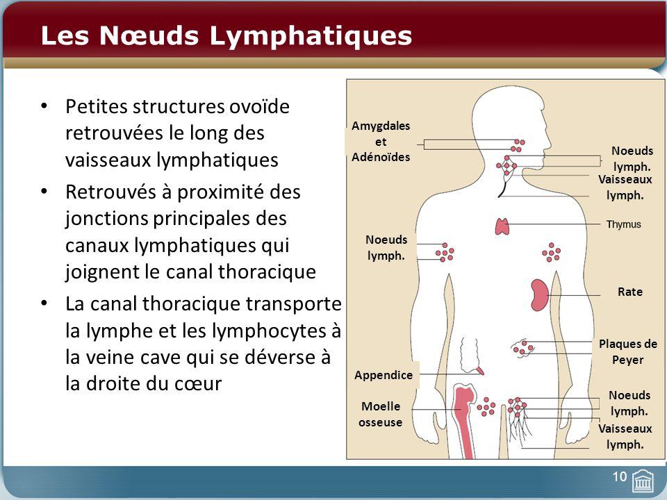 Les Nœuds Lymphatiques