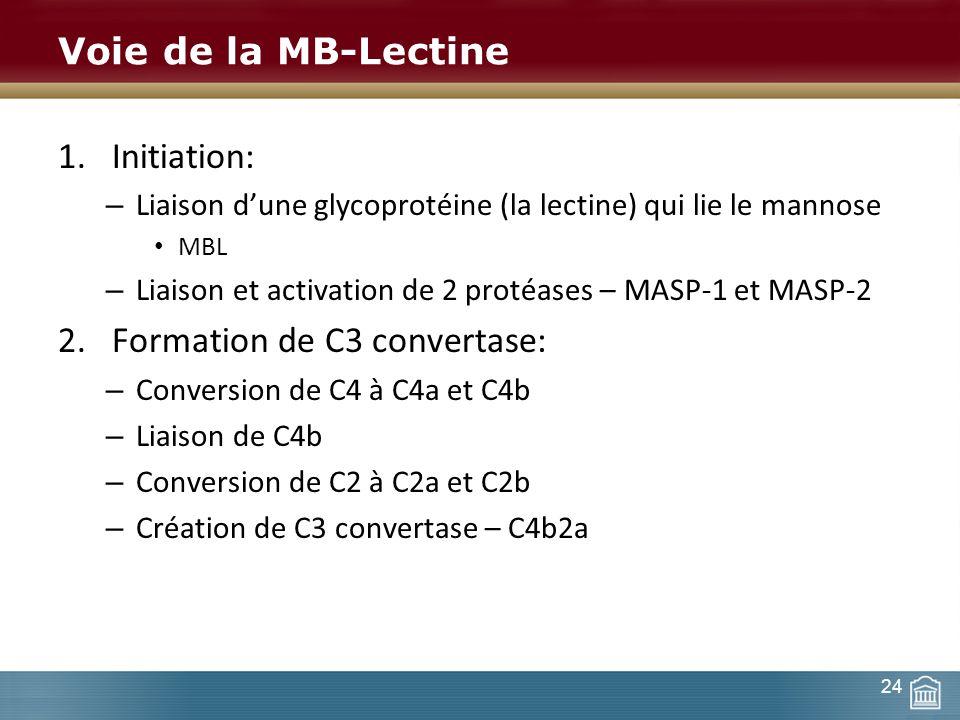 Formation de C3 convertase:
