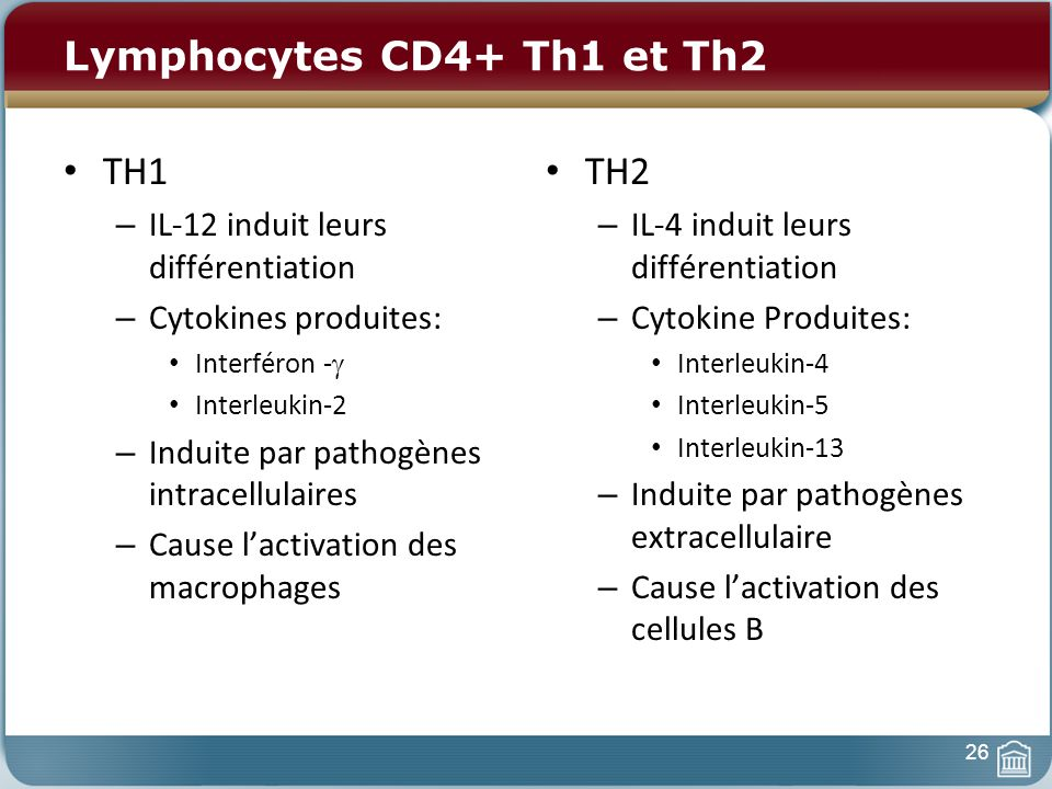 Lymphocytes CD4+ Th1 et Th2