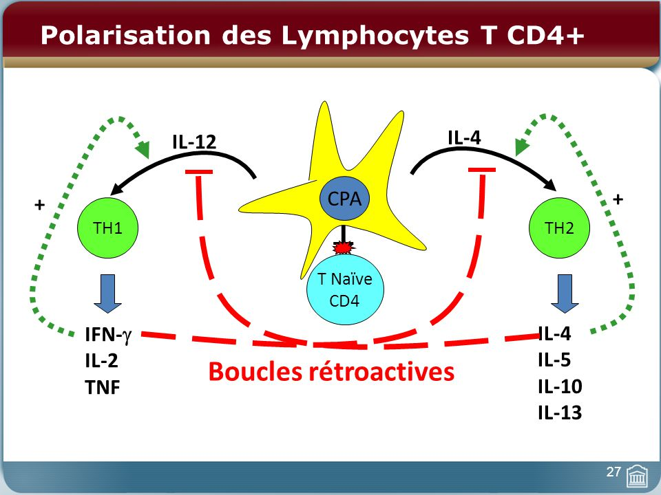 Polarisation des Lymphocytes T CD4+