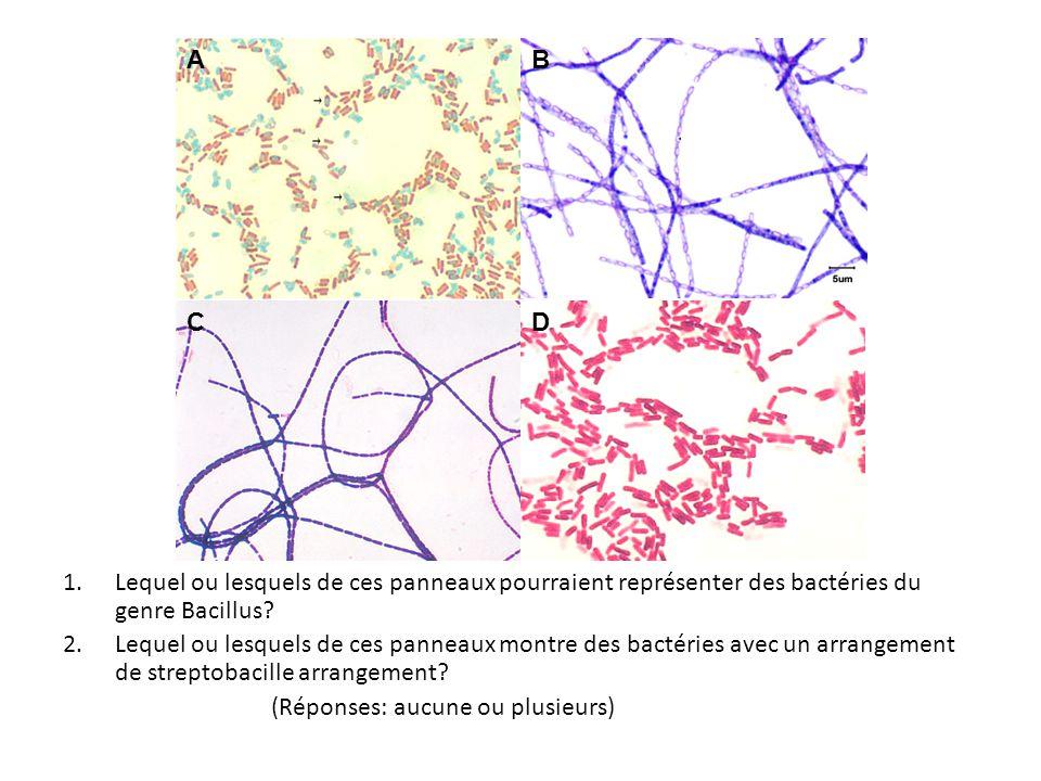 A B. C. D. Lequel ou lesquels de ces panneaux pourraient représenter des bactéries du genre Bacillus