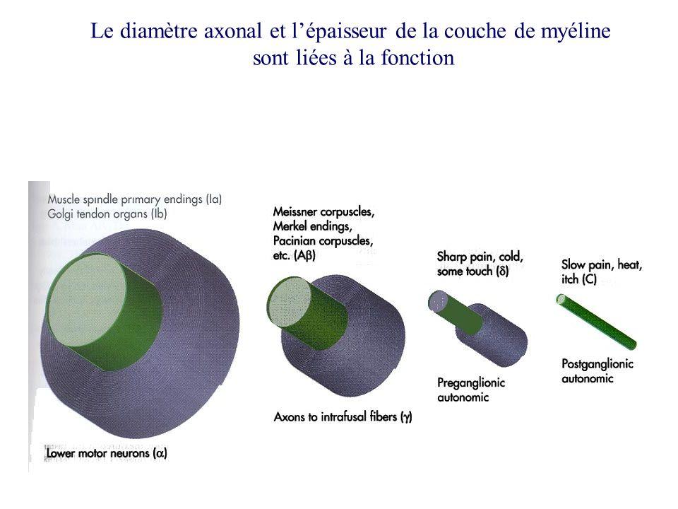 Le diamètre axonal et l'épaisseur de la couche de myéline