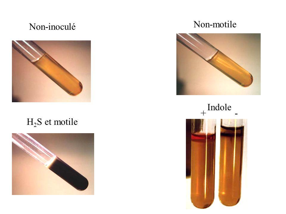 Non-motile Non-inoculé Indole + - H2S et motile