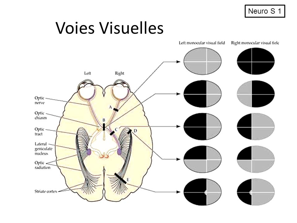 Neuro S 1 Voies Visuelles