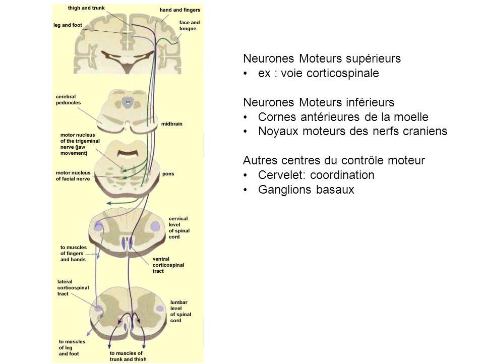 Neurones Moteurs supérieurs