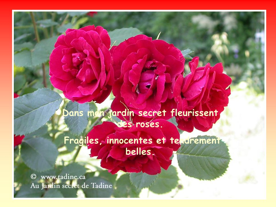 Dans mon jardin secret fleurissent des roses.
