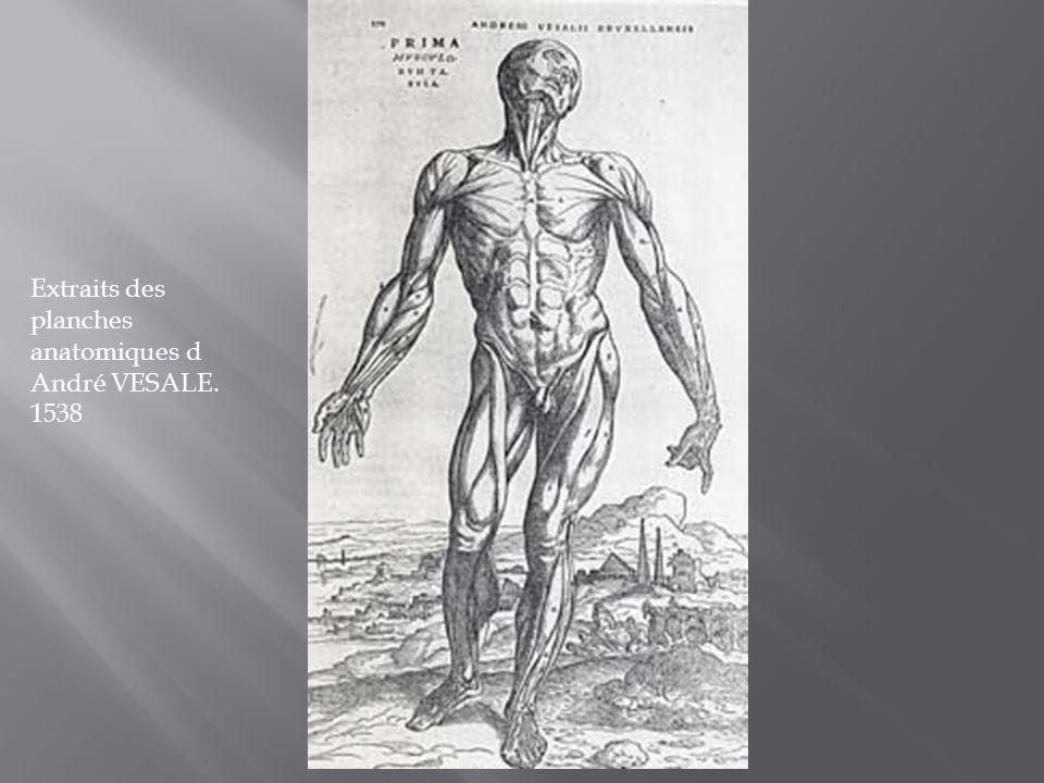 Extraits des planches anatomiques d André VESALE.