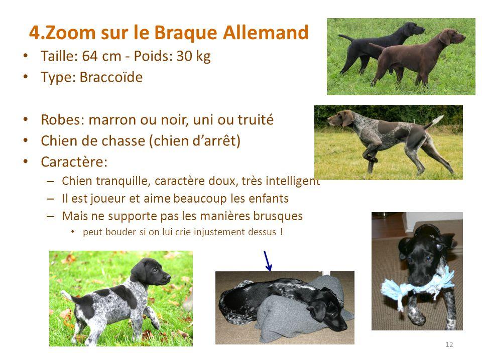 4.Zoom sur le Braque Allemand