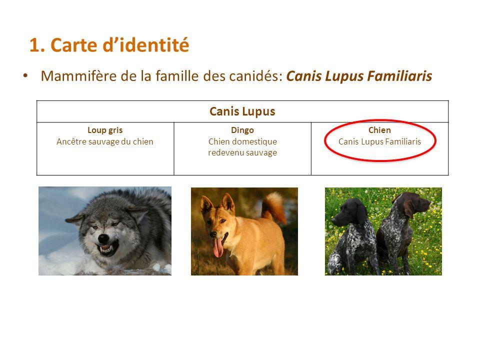 1. Carte d'identité Mammifère de la famille des canidés: Canis Lupus Familiaris. Canis Lupus. Loup gris.