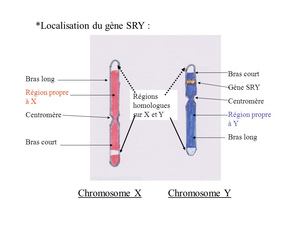 Localisation du gène SRY :