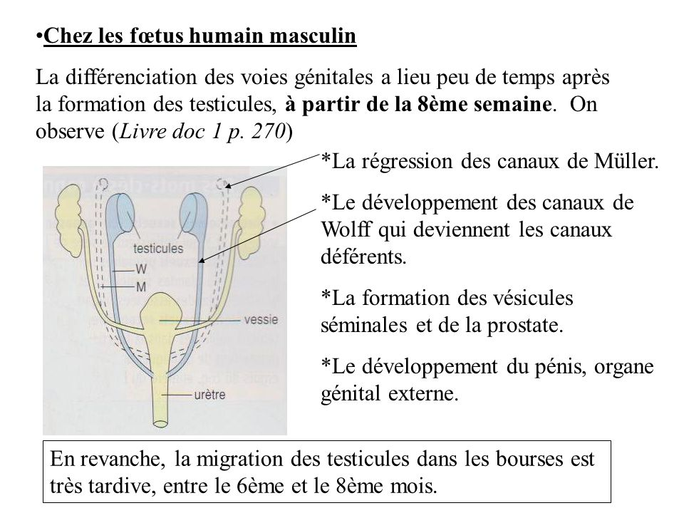 Chez les fœtus humain masculin