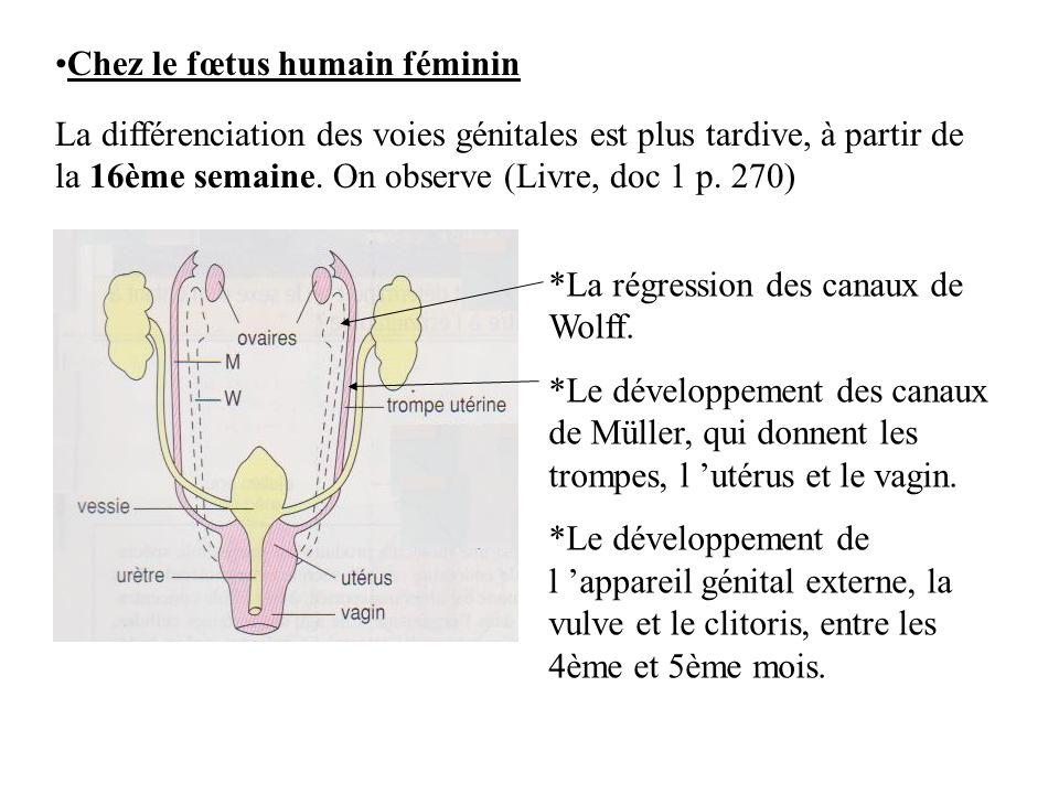 Chez le fœtus humain féminin