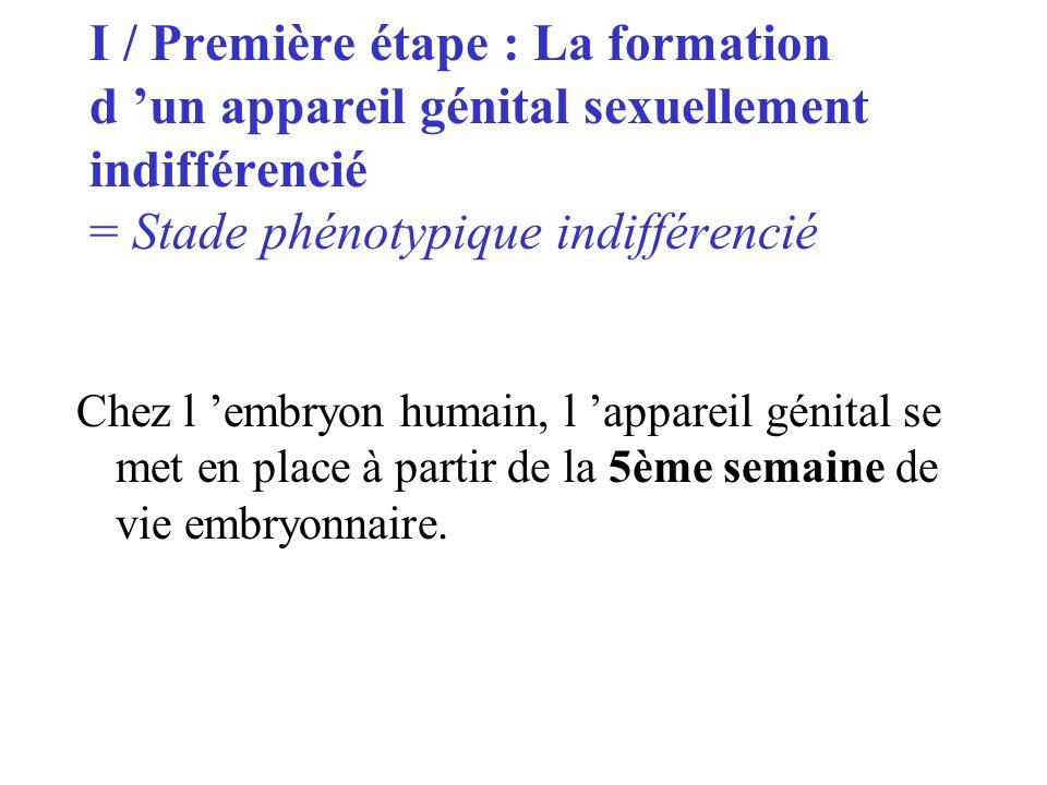 I / Première étape : La formation d 'un appareil génital sexuellement indifférencié = Stade phénotypique indifférencié