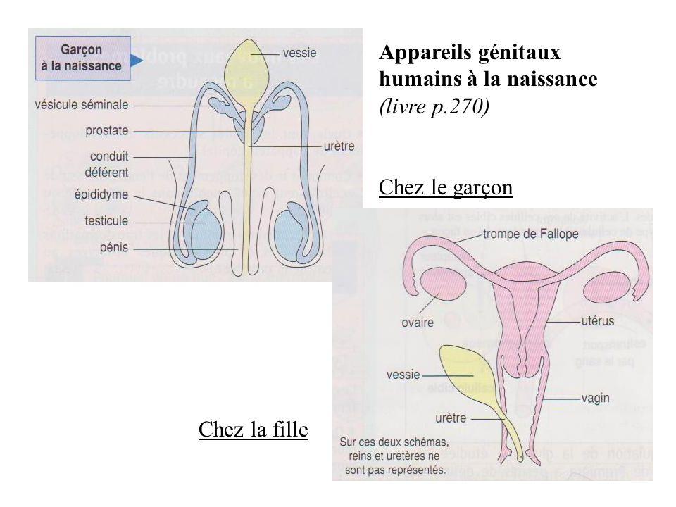 Appareils génitaux humains à la naissance (livre p.270)