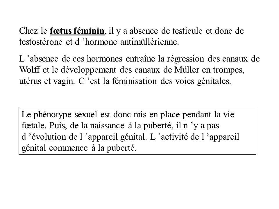 Chez le fœtus féminin, il y a absence de testicule et donc de testostérone et d 'hormone antimüllérienne.