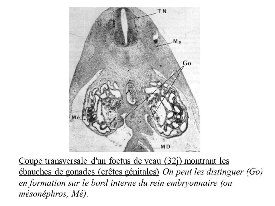 Coupe transversale d un foetus de veau (32j) montrant les ébauches de gonades (crêtes génitales) On peut les distinguer (Go) en formation sur le bord interne du rein embryonnaire (ou mésonéphros, Mé).