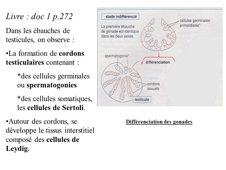 Livre : doc 1 p.272 Dans les ébauches de testicules, on observe :