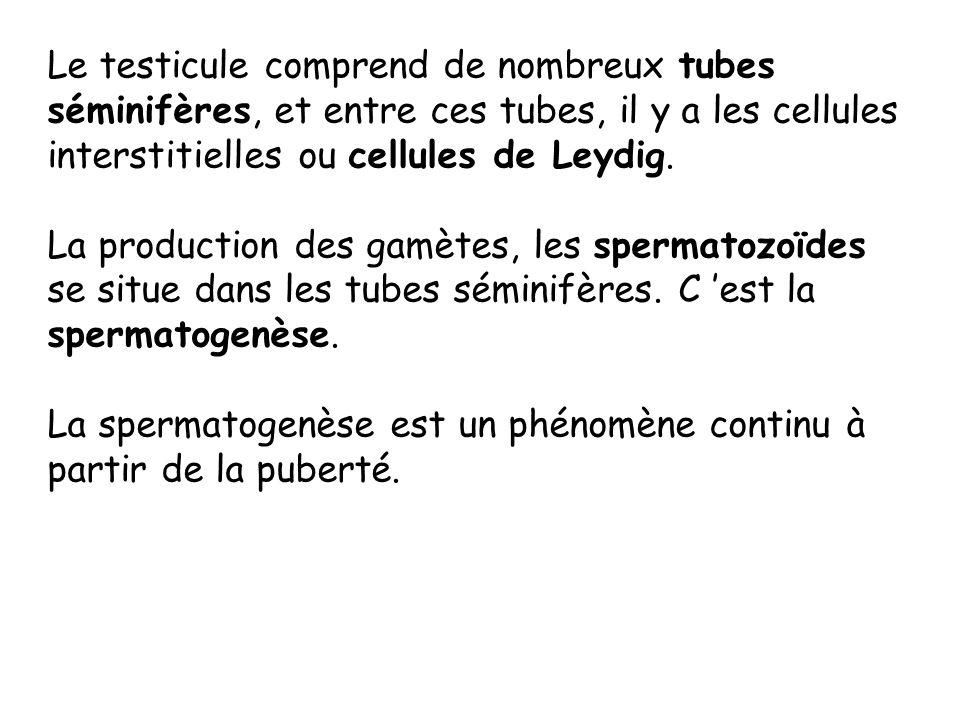 Le testicule comprend de nombreux tubes séminifères, et entre ces tubes, il y a les cellules interstitielles ou cellules de Leydig.