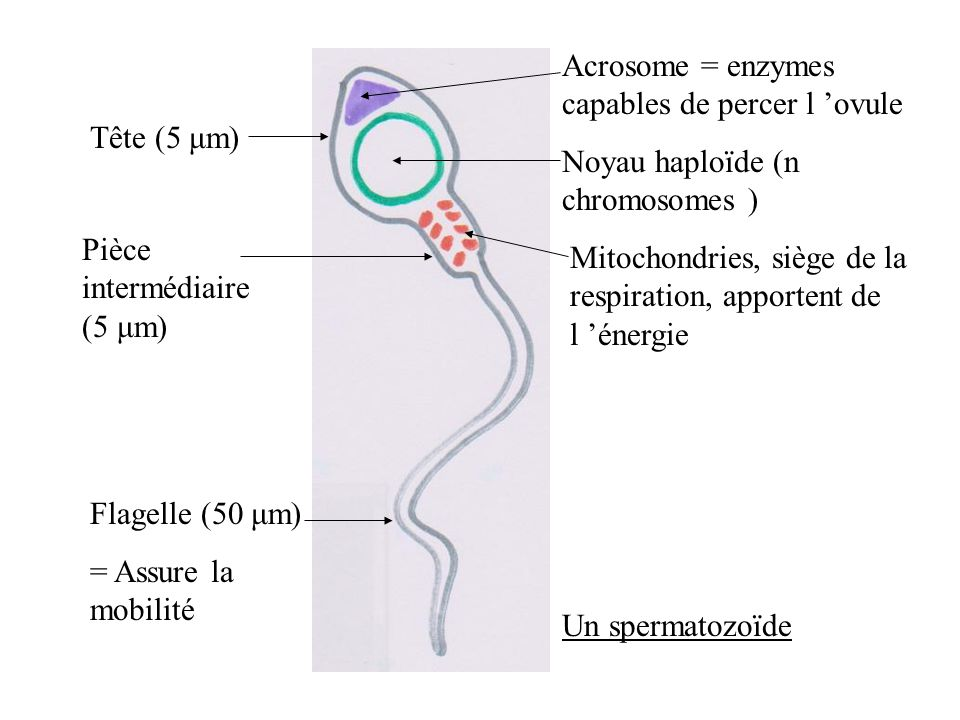 Acrosome = enzymes capables de percer l 'ovule