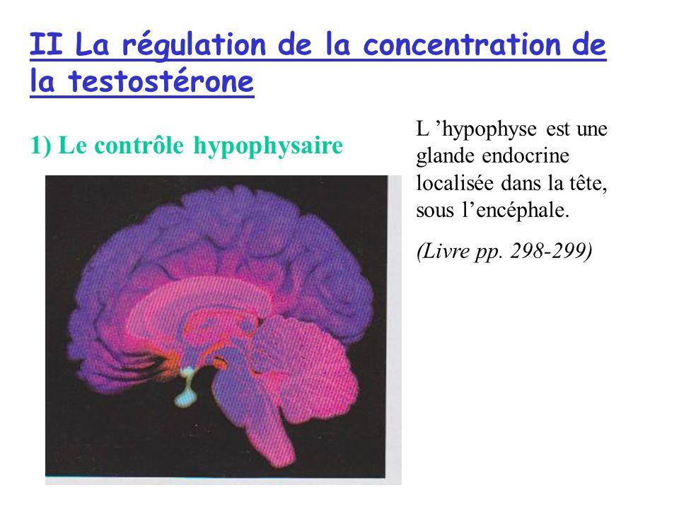 II La régulation de la concentration de la testostérone