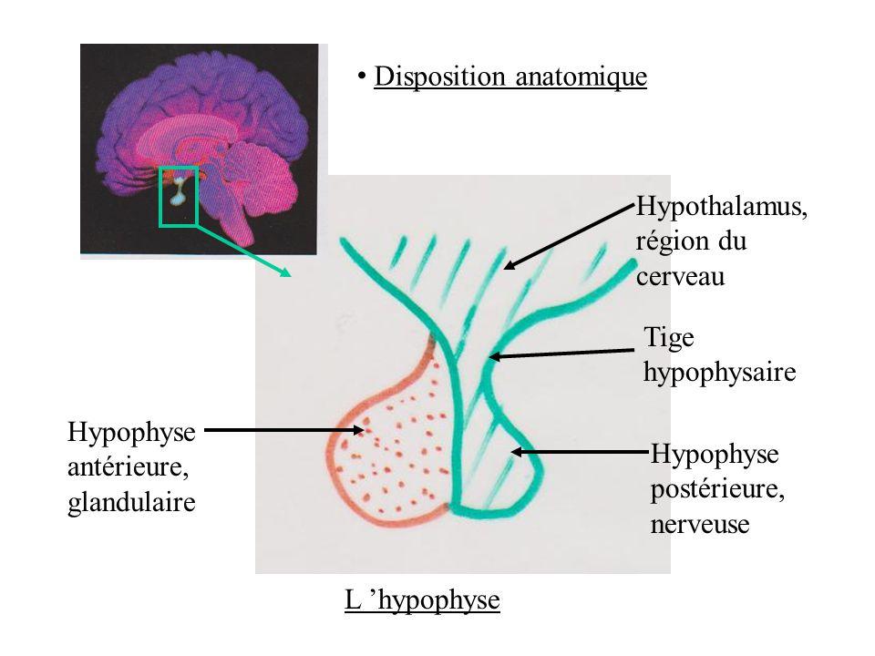 Disposition anatomique