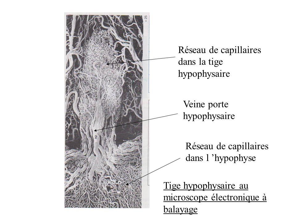 Réseau de capillaires dans la tige hypophysaire