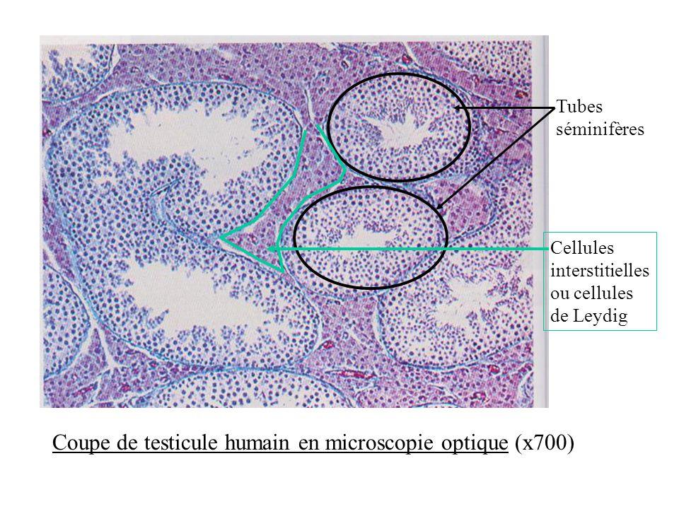 Coupe de testicule humain en microscopie optique (x700)