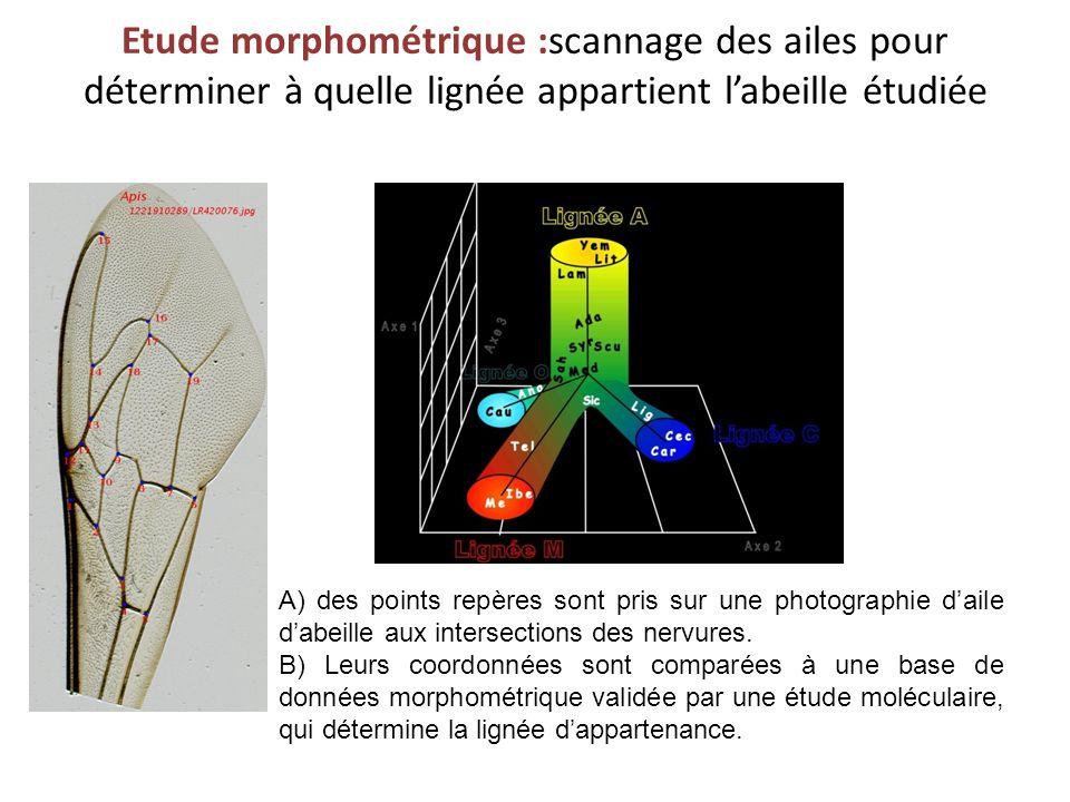 Etude morphométrique :scannage des ailes pour déterminer à quelle lignée appartient l'abeille étudiée