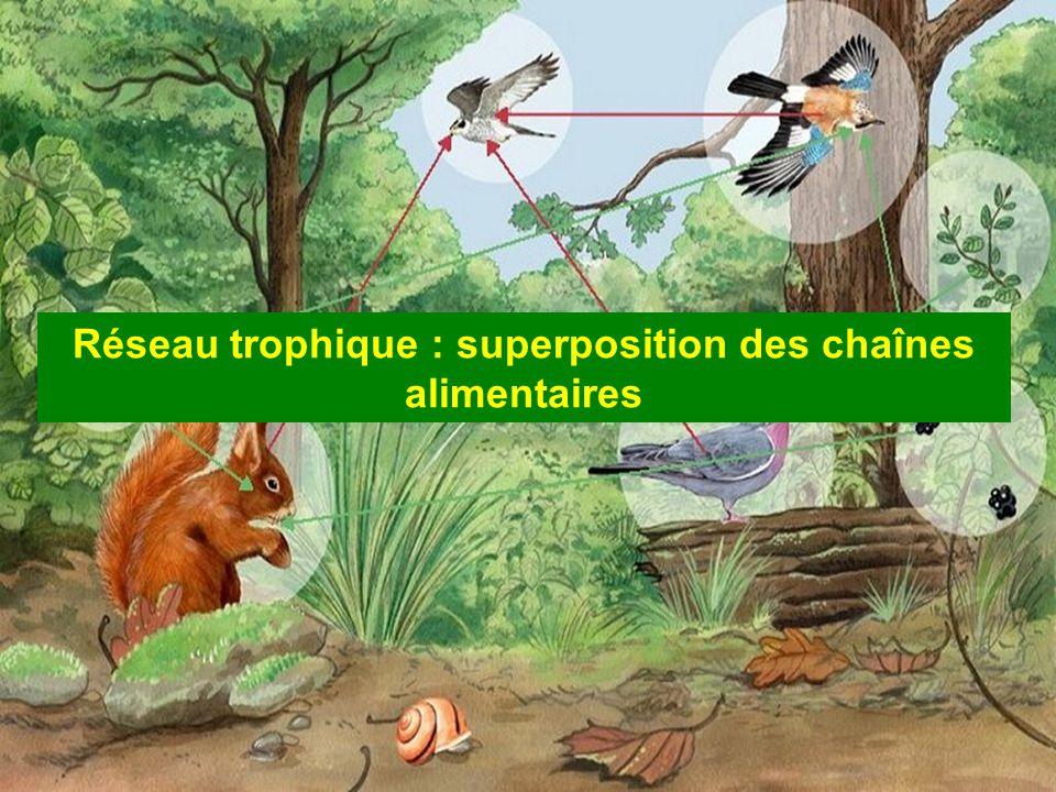 Réseau trophique : superposition des chaînes alimentaires