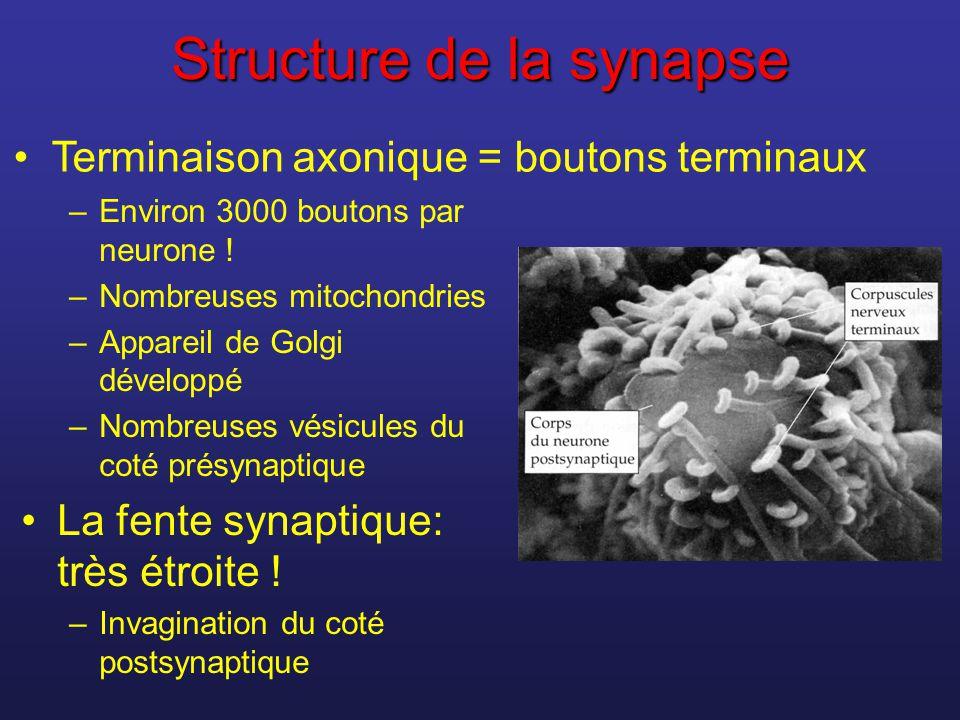 Structure de la synapse