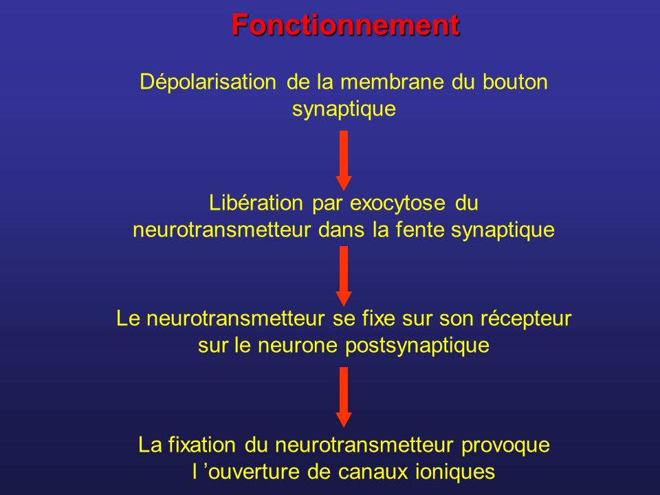 Fonctionnement Dépolarisation de la membrane du bouton synaptique