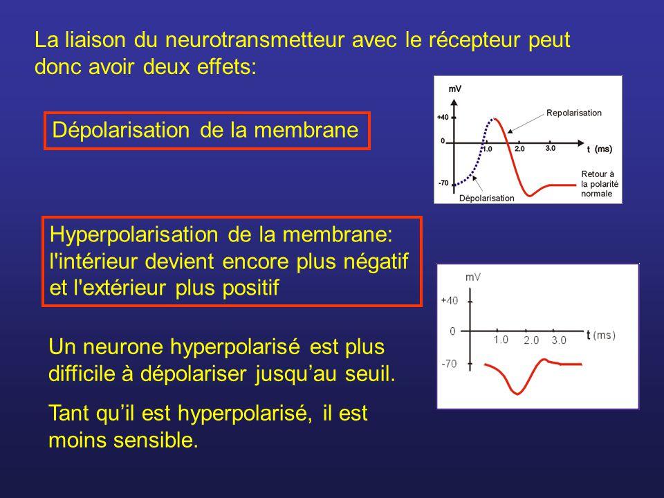 La liaison du neurotransmetteur avec le récepteur peut donc avoir deux effets: