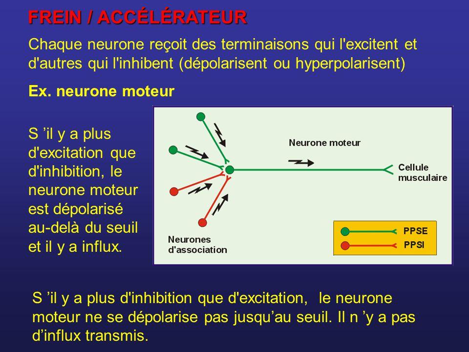 FREIN / ACCÉLÉRATEUR Chaque neurone reçoit des terminaisons qui l excitent et d autres qui l inhibent (dépolarisent ou hyperpolarisent)
