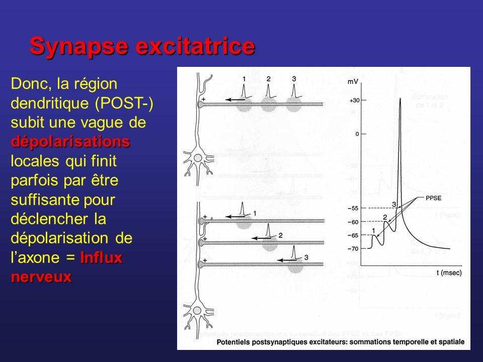 Synapse excitatrice