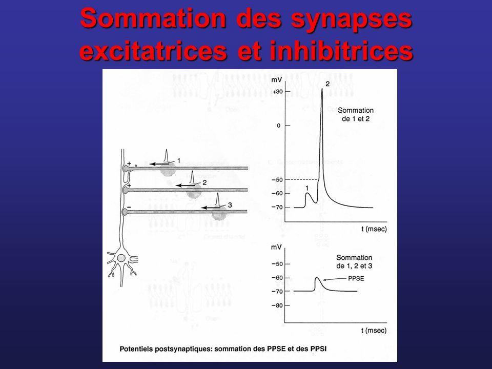 Sommation des synapses excitatrices et inhibitrices