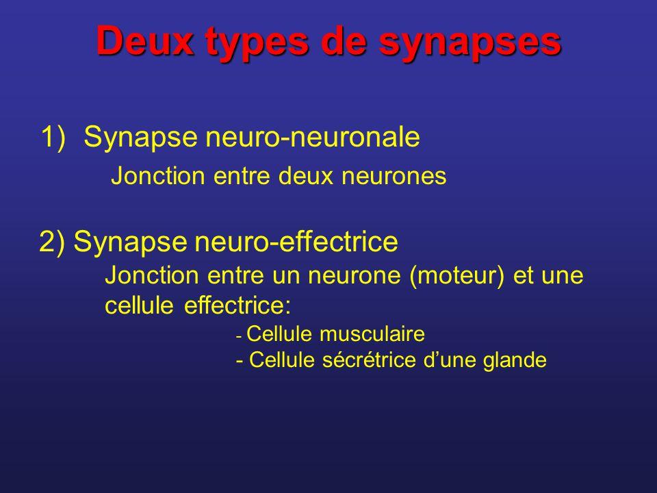 Deux types de synapses Synapse neuro-neuronale