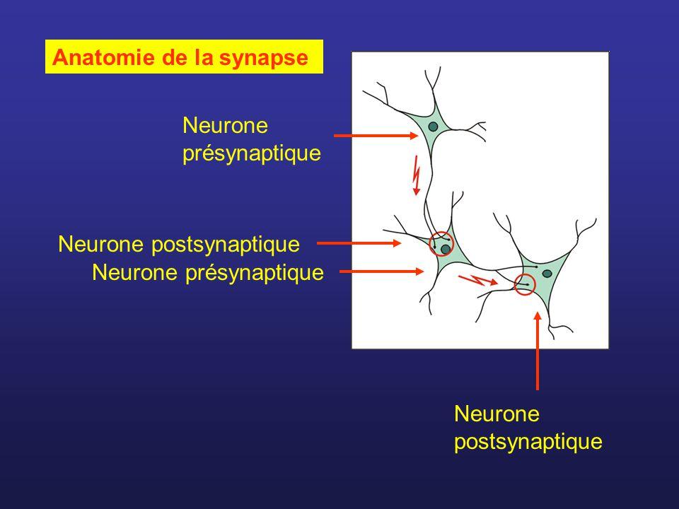 Anatomie de la synapse Neurone présynaptique. Neurone postsynaptique.