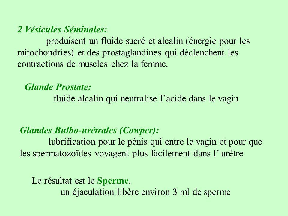 2 Vésicules Séminales: