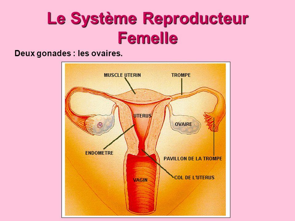 Le Système Reproducteur Femelle