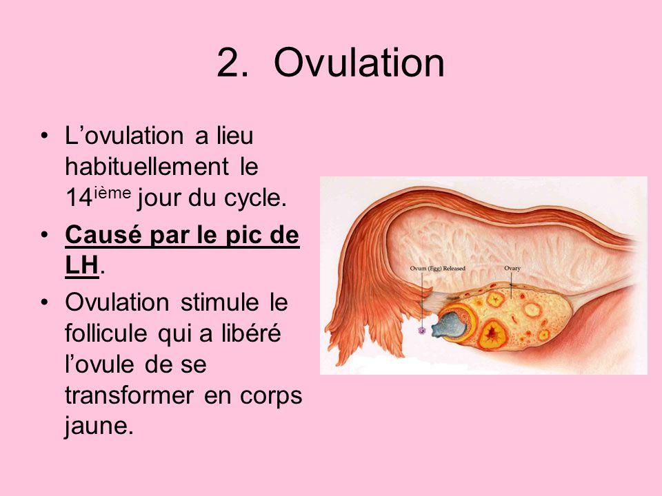 2. Ovulation L'ovulation a lieu habituellement le 14ième jour du cycle. Causé par le pic de LH.