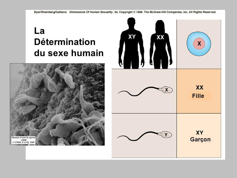 La Détermination du sexe humain