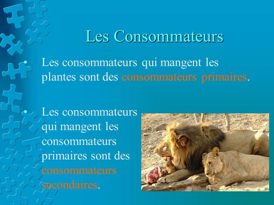 Les Consommateurs Les consommateurs qui mangent les plantes sont des consommateurs primaires.