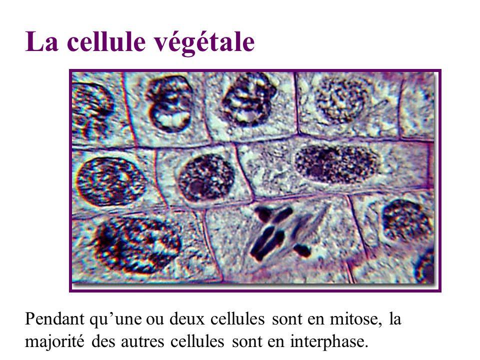 La cellule végétale Pendant qu'une ou deux cellules sont en mitose, la majorité des autres cellules sont en interphase.
