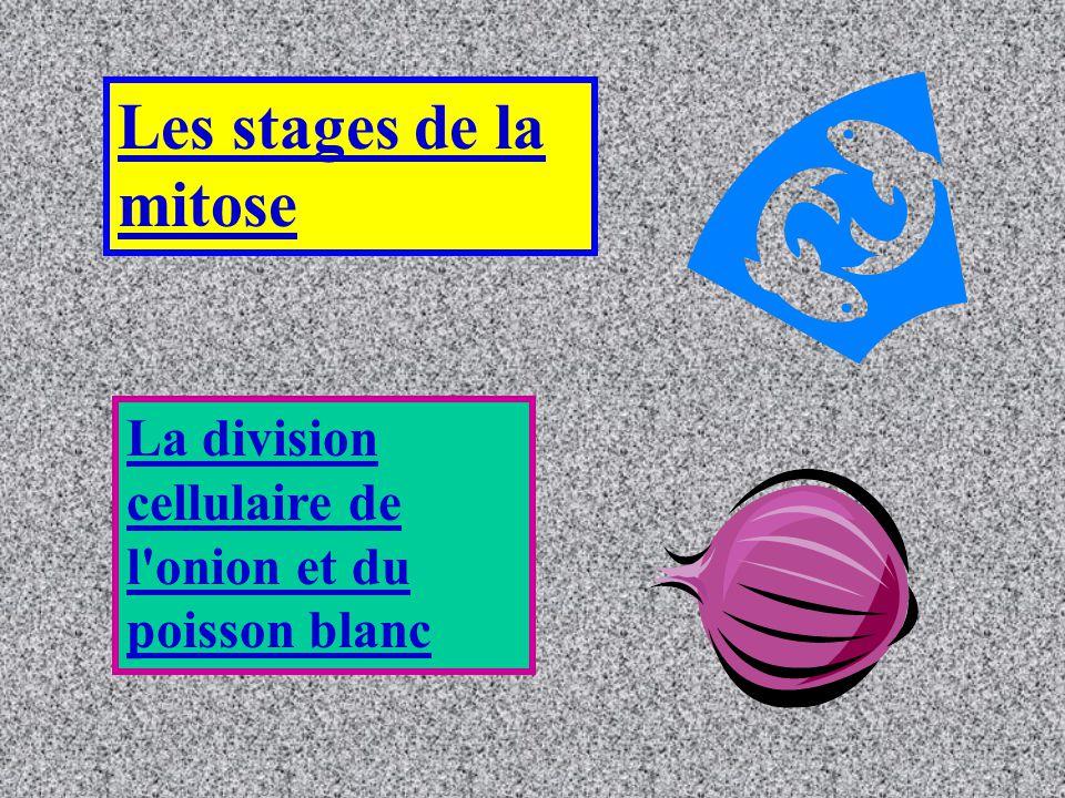 Les stages de la mitose La division cellulaire de l onion et du poisson blanc