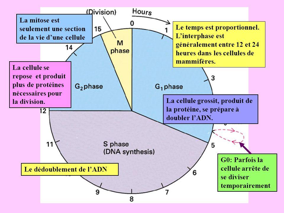 La mitose est seulement une section de la vie d'une cellule