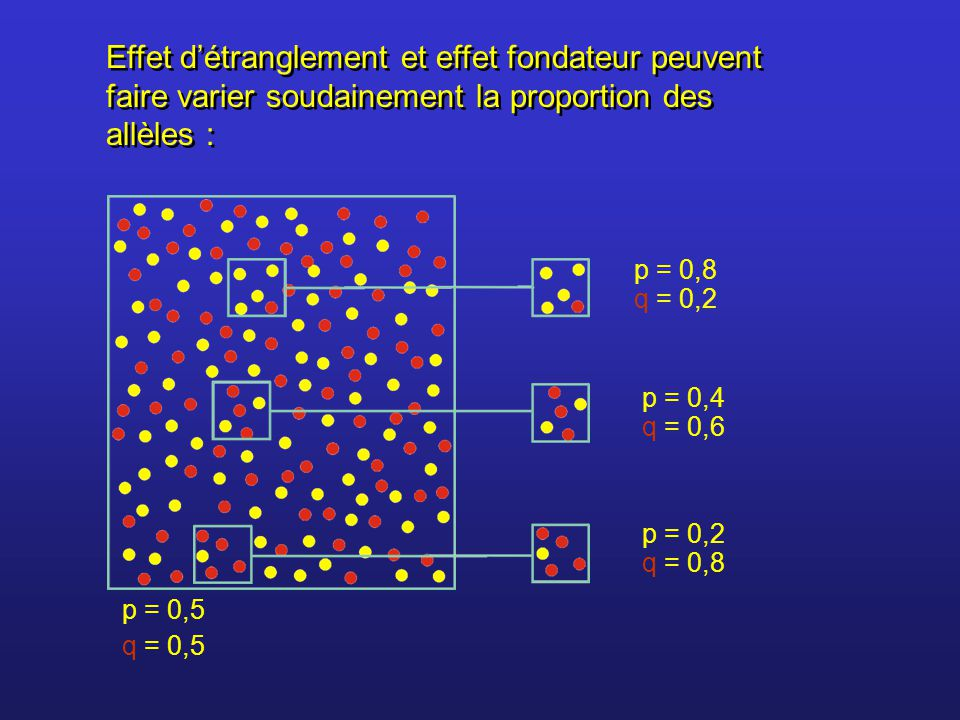 Effet d'étranglement et effet fondateur peuvent faire varier soudainement la proportion des allèles :