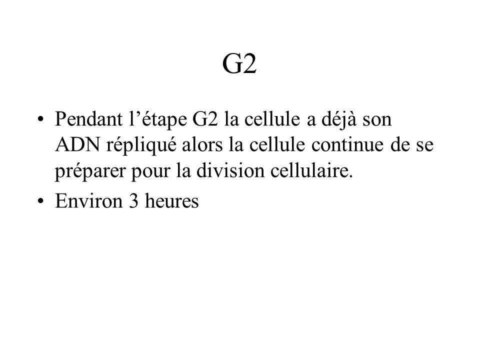 G2 Pendant l'étape G2 la cellule a déjà son ADN répliqué alors la cellule continue de se préparer pour la division cellulaire.