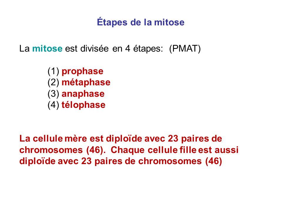 Étapes de la mitose La mitose est divisée en 4 étapes: (PMAT) (1) prophase. (2) métaphase. (3) anaphase.